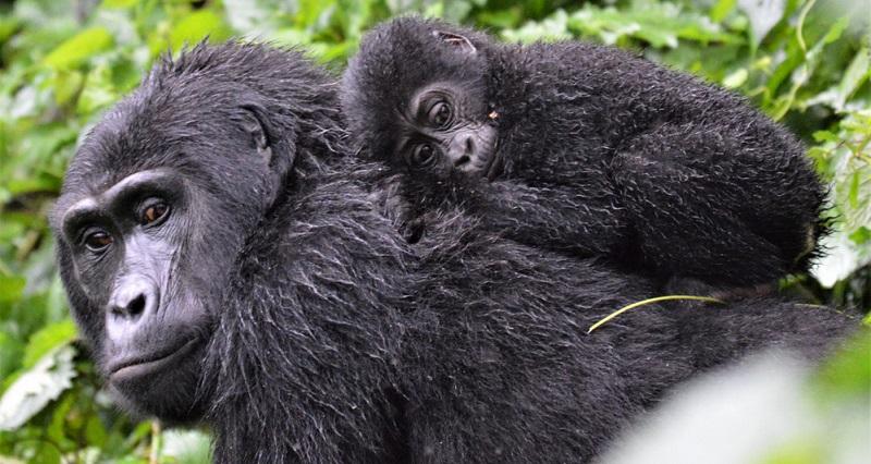 Beim Begriff Affen denken viele Menschen zunächst an große Menschenaffen und deren verschiedene Ableger – beispielsweise Gorillas, Orang-Utans oder Schimpansen. Diese eignen sich jedoch nicht als Haustiere.