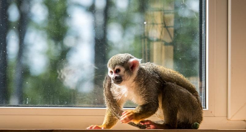 Die meisten Menschen gehen von der Idee aus, den Affen in der eigenen Wohnung zu halten, um sich besonders intensiv mit ihm zu beschäftigen.