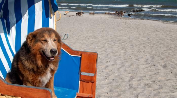 Am Strand der ostsee fühlt sich der Hund pudelwohl. (Foto: shutterstock - Sabine Schoenfeld)